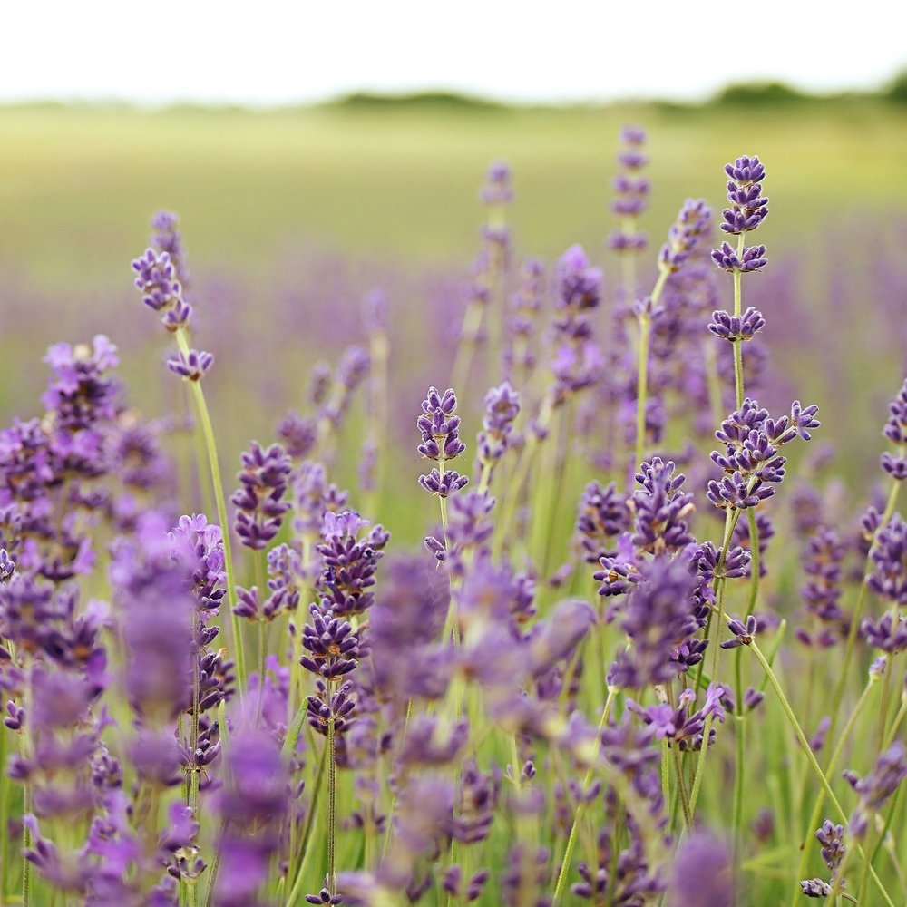 Why lavender? - The lavender flower symbolizes grace, elegance, and grown up femininity. It needs full sunlight in order to grow and flourish. Light. It grows in bright light, not in the shadows. Lavender serves as a beautiful reminder that to become the whole, full women we were created to be, we need light and lots of it! We need the light of love, connection, empathy, and encouragement. We hope to be a source of light in your journey of growth!