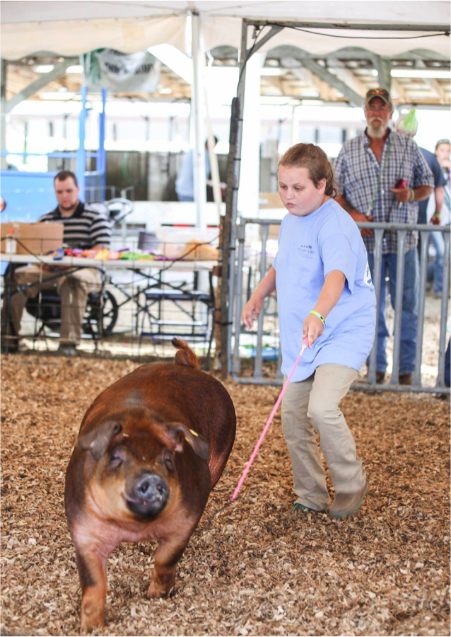 Kaisy, with her proud dad in the background, showing her breeding gilt in the Supreme 4-H drive.