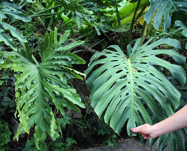 "#tbt to when I was at the Singapore Botanic Gardens: It's helpful to see plants side by side so you can differentiate them: on the left is Philodendron bipinnatifidum (common name: Philodendron selloum) and on the right is Monstera deliciosa (common names: split-leaf philodendron---this one causes some confusion because the other plant is both ""split-leafed"" and a true philodendron, swiss cheese plant---I'd prefer to give this common name to Monstera obliqua). Personal naming preference: I'll call the first one P. selloum only because 'bipinnatifidum' is a mouthful; Monstera deliciosa is just Monstera deliciosa."