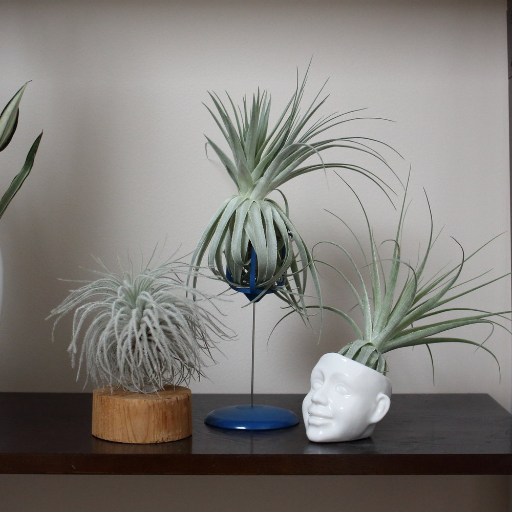 Basics Air Plant Care 101 House Plant Journal
