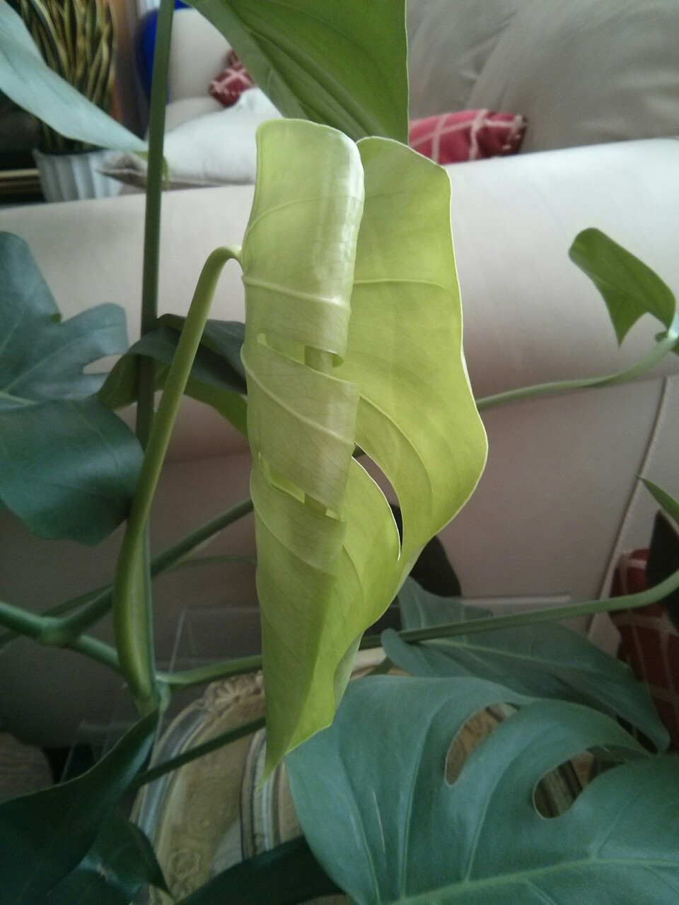 "January 30, 2015 -  each individual monstera leaf has a predestined pattern, meaning that it does NOT develop more cuts/holes as it ages.  Instead, it is the NEXT leaf that may have a more complex pattern if the overall plant is happy.  How do you know if the plant is happy?  It starts with light: if the plant can see the sky and not necessarily the sun, then it is getting so-called ""bright indirect light"" - the ideal light for just about all tropical foliage plants."
