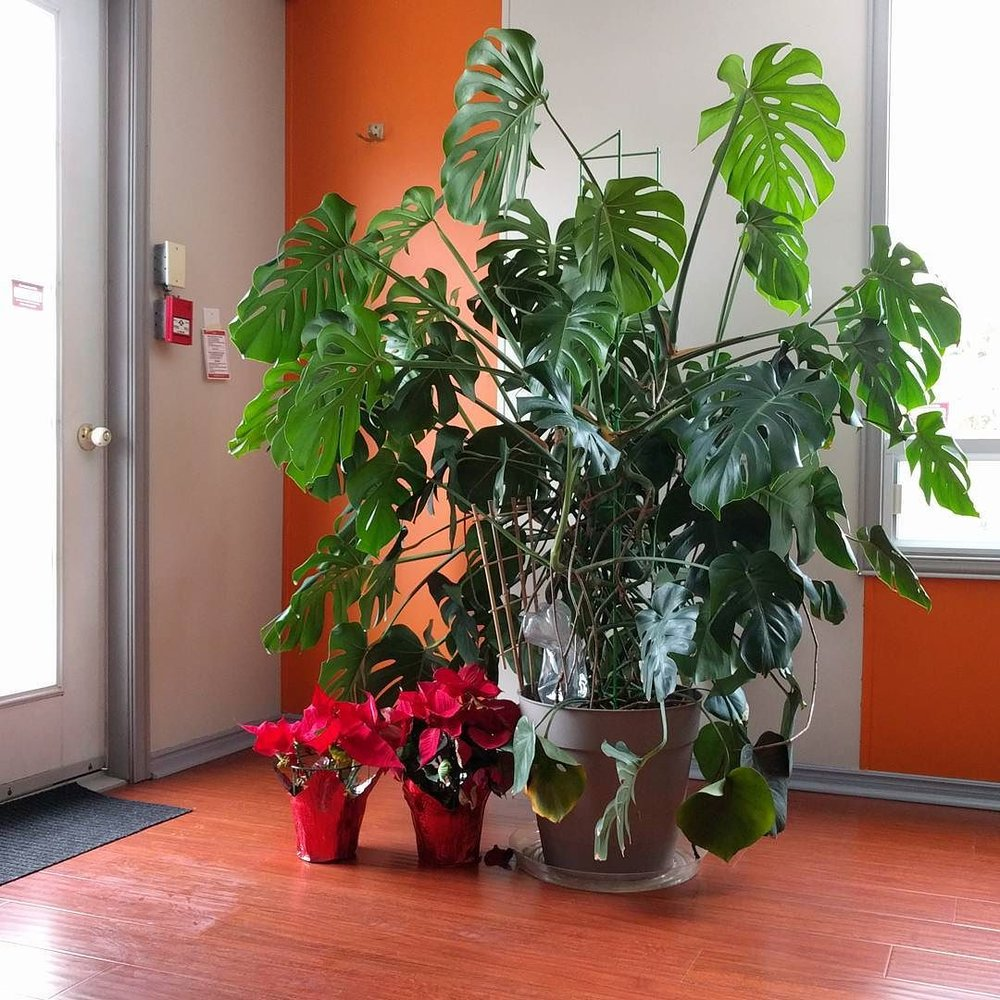 December 25, 2016 -  correct light is the first step to house plant success.  Second is watering.  Third is soil structure (aerating occasionally).  Fourth is fertilizing.  Fifth is getting rid of dead foliage and not crying about it.  Remember, BOTH light and water are fundamental requirements for plant growth.  Don't focus on watering while ignoring the light!