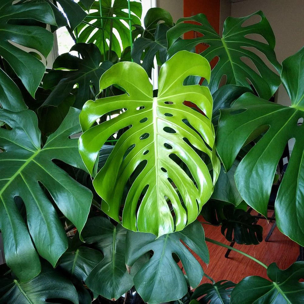 Monstera deliciosa house plant journal house plant journal for Monstera deliciosa