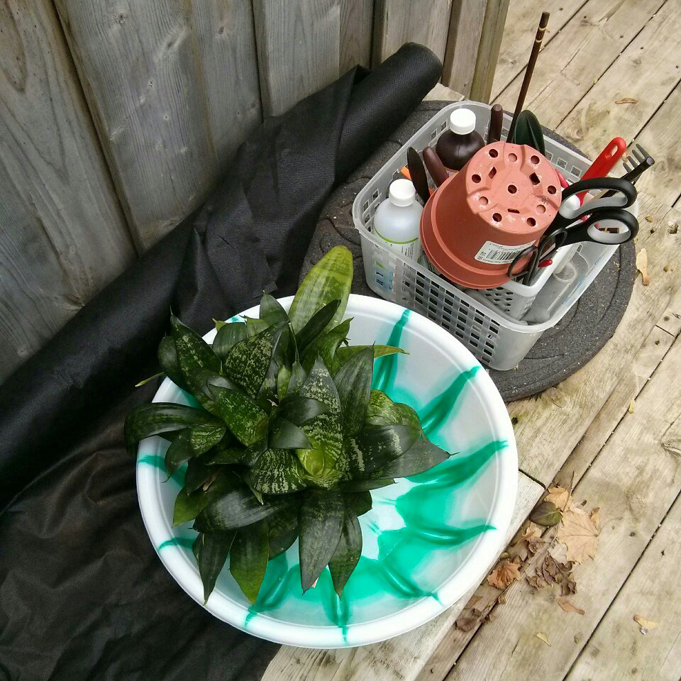 "October 31, 2015 - the weather was still nice enough to repot outside.  I had some extra 5"" nursery pots to use - the plant will recover faster from repotting when it is moved to a slightly bigger pot instead of a significantly larger one.  I like to line the bottom of the pot with landscape fabric to prevent soil runoff as I water the plant - the fabric is cheap and can easily be cut to size."