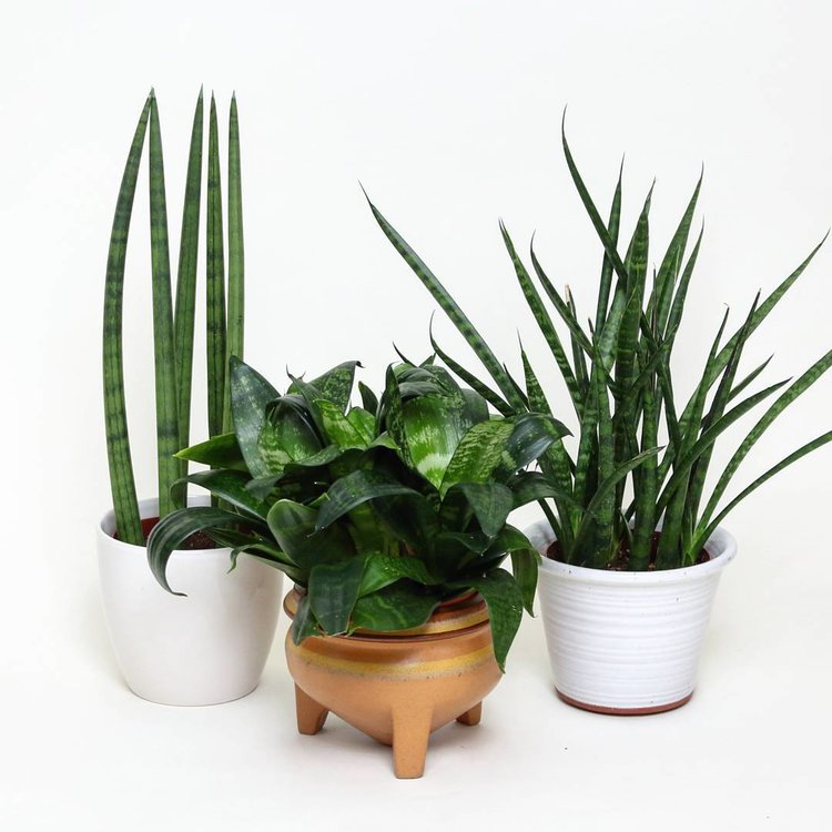 December 12, 2015 -  one time I had to do a studio photoshoot so I naturally used my plants as models to test the lighting. On the left is S. cylindrica.