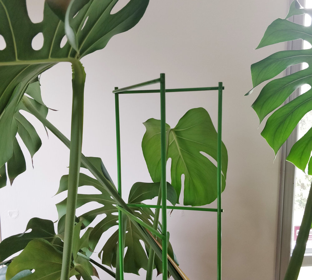 Trellis installation for Monstera deliciosa — House Plant ... on monstera philo cheesecake, monstera pertusum, monstera leaves, monstera direct sun, monstera sunny window, monstera thai constellation, monstera leaf browning,