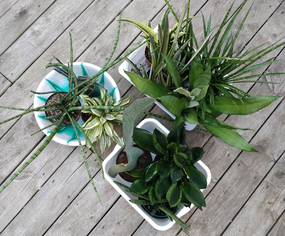 The task of carrying a dozen or so potted plants down a flight of stairs is more convenient with some low-walled plastic tubs - the kind used for cleaning.