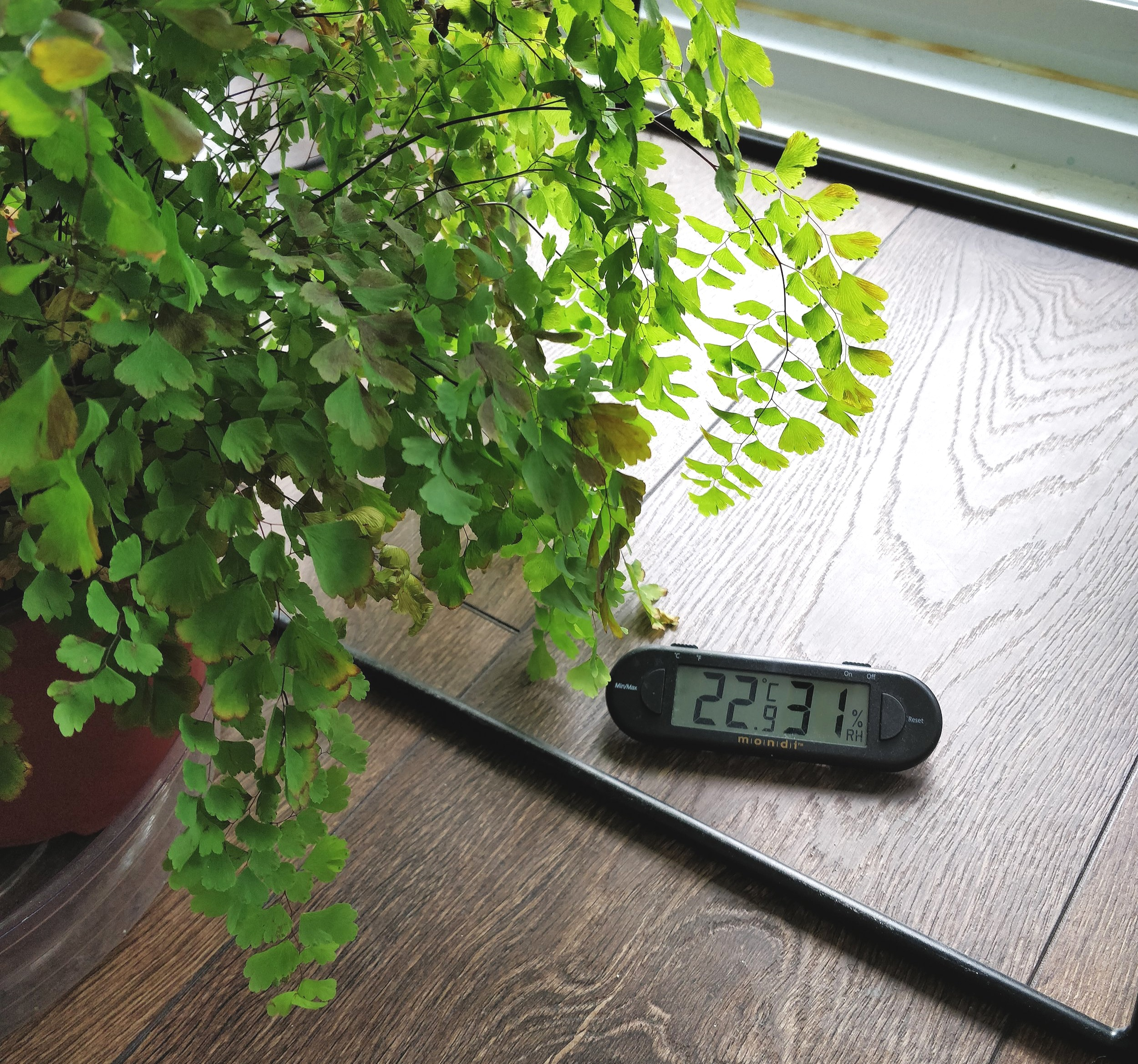 Maidenhair Fern Care Not That Delicate House Plant Journal
