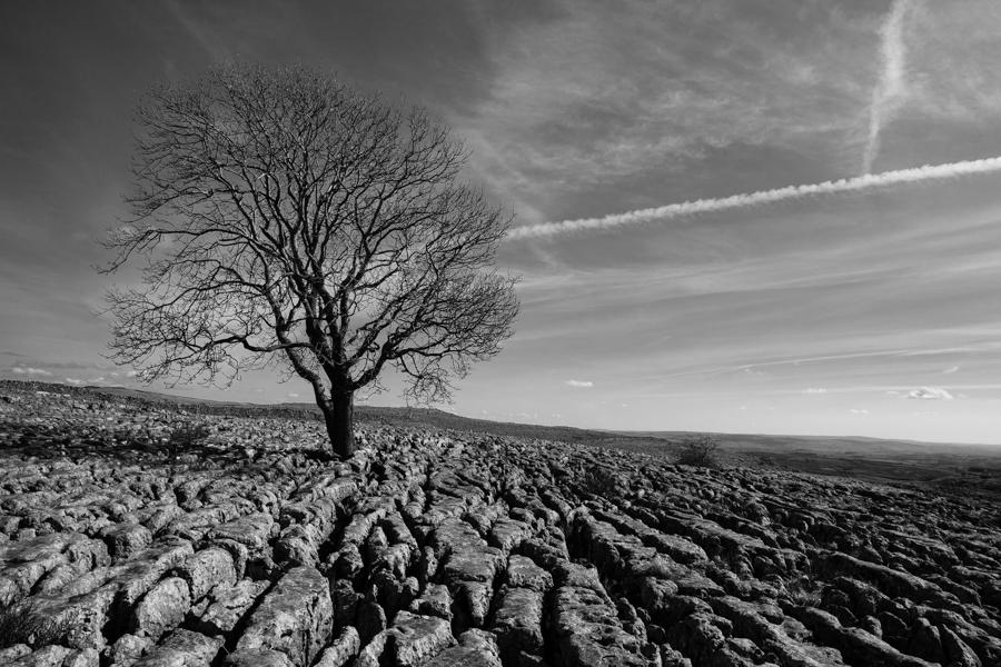Lone Tree on the limestone pavement