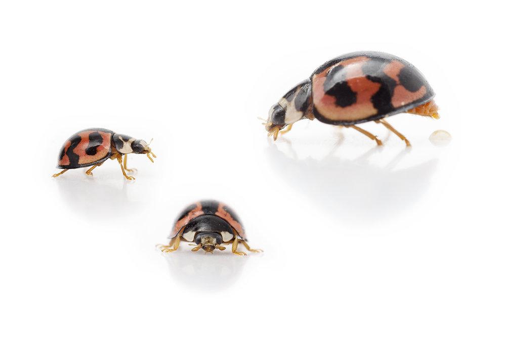 ladybird composite resized.jpg