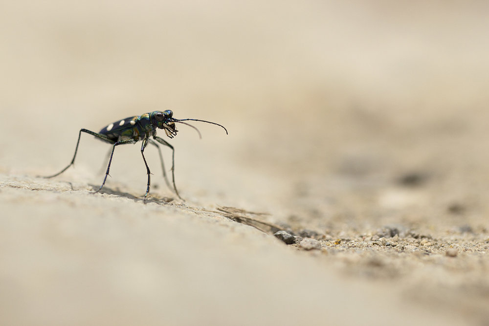Blue-spotted Tiger Beetle ©Daphne Wong.jpg