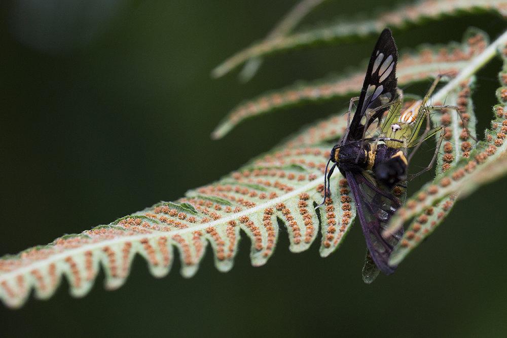 Lynx Spider with prey ©Daphne Wong.jpg