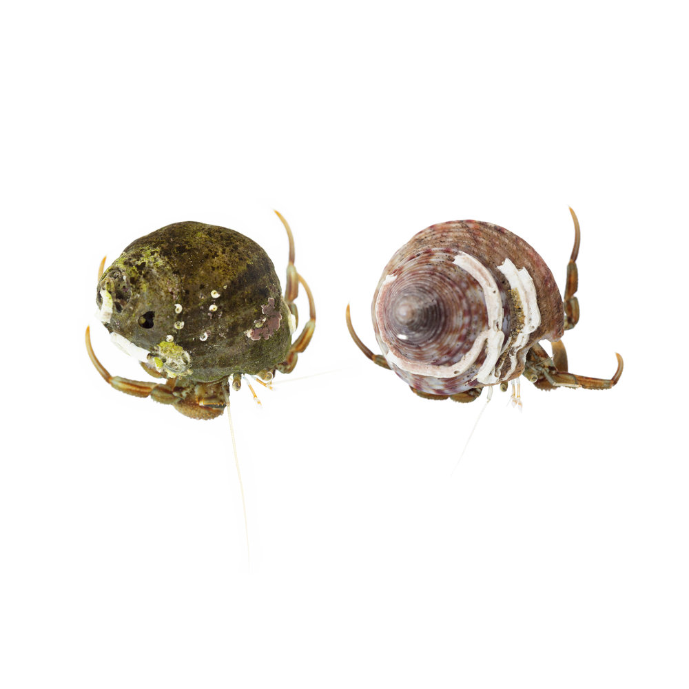 Hermit Crabs photographed on Castle Beach in Falmouth.  This image shows the variations and species of shells different hermit crabs adopt as their homes..jpg