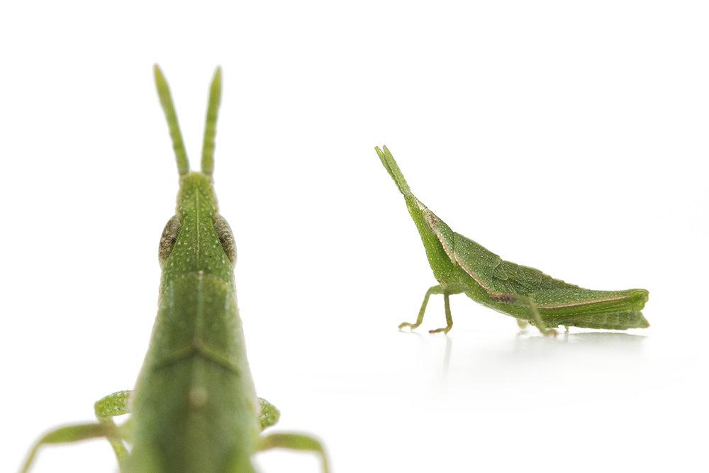 grasshopper collage resized.jpg