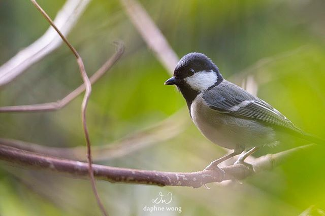 Previously known as the Great Tit (Parus major) due to being treated as its subspecies, the Cinereous Tit (Parus cinereus) is a resident bird in Hong Kong and can be found in woodlands.  The best way to identify the bird is its white cheeks and a black 'zip' extending from its throat to its belly.  從前都被大家叫作大山雀,近年才被分成自己一個種類的蒼背山雀是香港的留鳥,喜歡在樹林間活動。最容易辨認牠的方法就是記著牠白色的臉頰和由喉嚨延伸至肚子的黑色「拉鏈」。