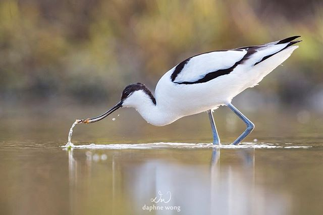 The Pied Avocet feeds by sweeping its distinctive upturned beak from side to side in shallow water to locate prey. They are also great swimmers and can forage in deeper waters.  These birds are winter visitors to Hong Kong and can be found in various wetland habitats, such as fishponds, mudflats, Gei Wais and rivers, in the New Territories. 反嘴鷸習慣在淺水中用其上翹的喙左右掃動篩取如小魚蝦和昆蟲等獵物,牠們亦可以在深水游泳覓食。反嘴鷸是香港的冬季候鳥,在新界的魚塘、泥灘、基圍和水道等濕地可以發現牠們的蹤跡。