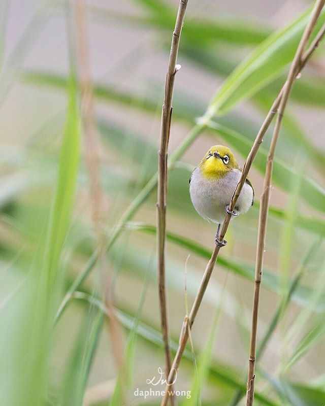 A Japanese White-eye kept me entertained while I was helping out with a bird census earlier this year. They are extremely agile and sociable, and will forage in flocks with other species. The little songbird has also been commonly kept as a caged pet. 年頭進行黑臉琵鷺普查時碰上一群暗綠繡眼鳥在草叢間覓食。牠們擁有靈活的身手,亦喜歡與其他鳥類聚集在一起覓食。暗綠繡眼鳥又名相思,因為鳴聲清脆悅耳,是中國著名的觀賞鳥。