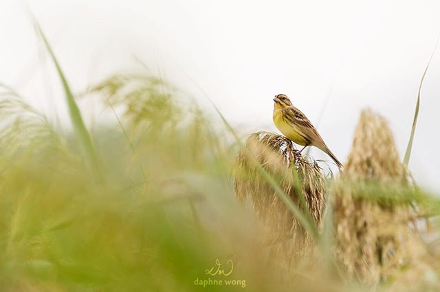 "The Yellow-breasted Bunting, commonly known as ""rice bird"" in China, used to occur in millions as a flock. Their numbers have dropped drastically over the past 40 years and they have recently been uplisted to 'Critically Endangered' on the IUCN Red List. They are threatened by excessive trapping and habitat loss in their breeding and feeding grounds. The bird is a popular delicacy, and people refer to them as ""ginseng of the sky"", believing that consuming them could boost sexual vitality, which is not scientifically proven. The unsustainable and irresponsible harvest for consumption has pushed this migratory and once common species to the edge extinction, just like the Passenger Pigeon. 黃胸鵐,又名禾花雀,數量曾經鋪天蓋地的多。因為過度捕獵和棲息地破壞,40年間牠們的數量急劇下降,近年國際自然保護聯盟更將牠們的級別調升至「極度瀕危」。廣東人認為吃禾花雀有壯陽功效,將之稱為「天上人參」,嚴重的濫捕獵殺令這種小小的候鳥在短時間內面臨被吃到滅絕的命運,步旅鴿的後塵。  Learn more about the species and conservation efforts in Hong Kong:  https://www.hkbws.org.hk/cms/index.php/ybb http://www.cahk.org.hk/show_works.php?type=sid&u=110"