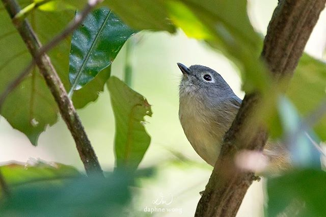 Grey-cheeked Fulvetta, also known as the Huet's Fulvetta, is a small forest babbler.  I usually find them in a bird wave, a mixed-species foraging flock, alongside Rufous-capped Babblers.  These delightful babblers are incredibly bold so keep an eye out for them next time when you go for a walk in Tai Po Kau, one of the best places in Hong Kong to see woodland birds 🌳 灰眶雀鶥是一種小型鶥類,喜歡與其他小鳥組成「鳥浪」覓食,經常和紅頭穗鶥一起出沒。下次你到大埔滘行山時不仿留意一下熱鬧的鳥浪裏有沒有這些活躍又不害羞的雀鶥!🌳