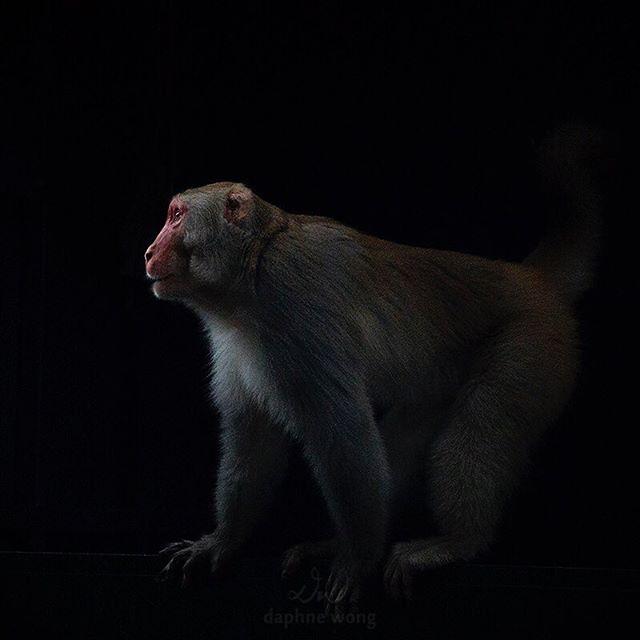Rhesus Macaque 恆河猴 🐒 香港紀錄有三種獼猴:恆河猴、長尾獼猴和西藏短尾猴,其中以恆河猴的分佈最廣泛。然而香港現有的猴群並非原始野生獼猴族群的後代,而是在1910年代在九龍山一帶被引入的,用作控制本地有毒的植物馬錢,確保水塘的食水不會受到馬錢果實污染。由於人類的過度餵食,所以香港的猴子不太怕人,大家到金山、獅子山、城門和大埔滘郊遊的時候最好不要用膠袋攜帶食物,見到猴子不要大聲喧嘩或在牠們面前做突要的動作,更不要喂飼牠們🐵