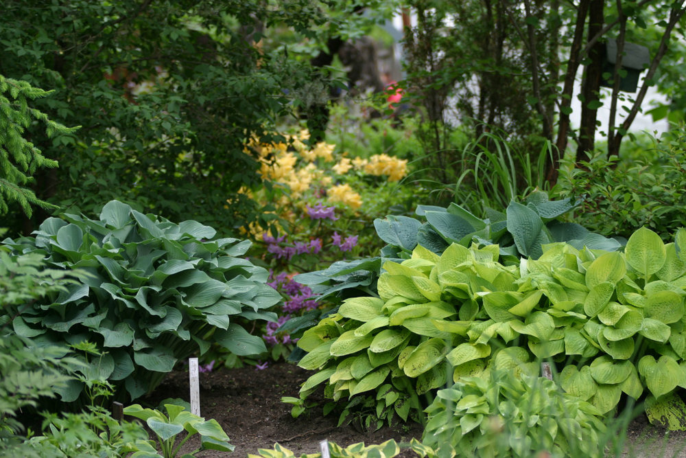 hosta high res_opt.jpg