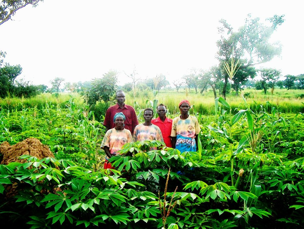 Cassava grown by the widows in Uganda.