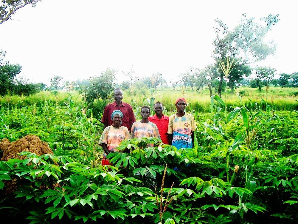 Cassava fields