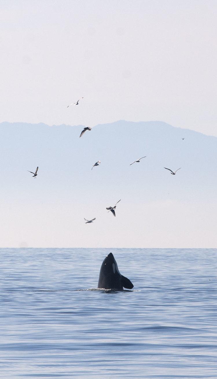 orca-whale_17353852120_o.jpg