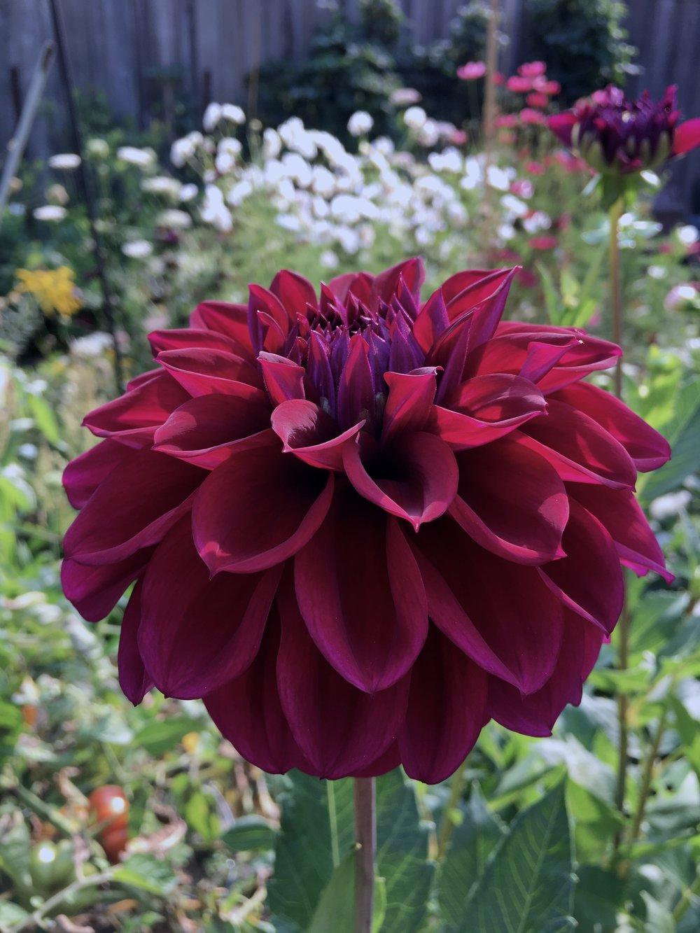 Diva - Diva : Deep eggplant purple blooms with beautiful form, 4-6