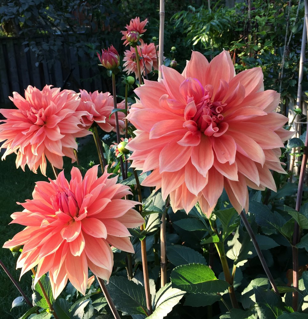 Babylon Bronze - One of the earliest to bloom. Large 6-8