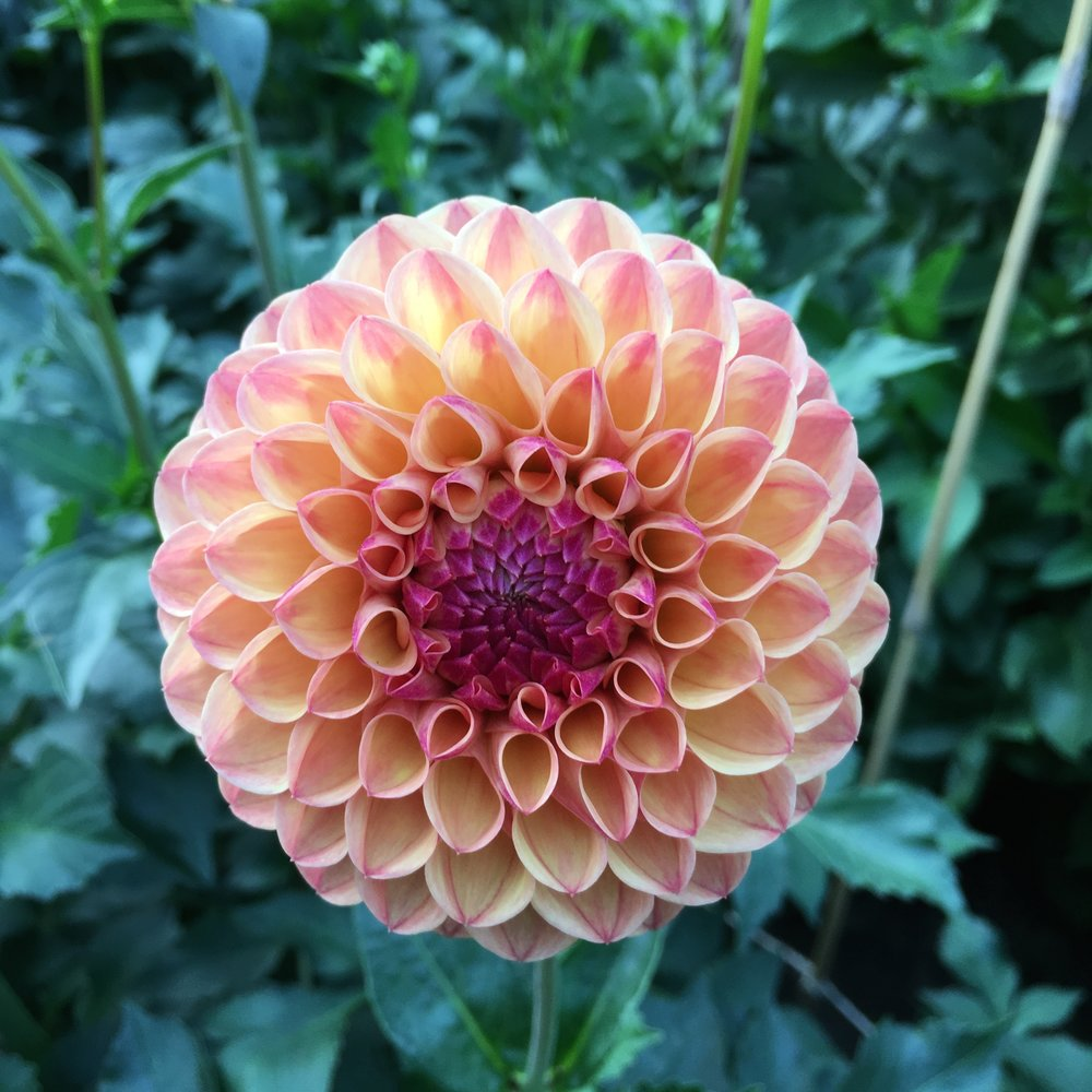 Robin hood - Like Ntac Mia Li, this is a dahlia that really changes her look through the season. This photo is from earlier on when the colours are softer. As the season changes the colours deepen to darker pinks and corals. Prolific 4