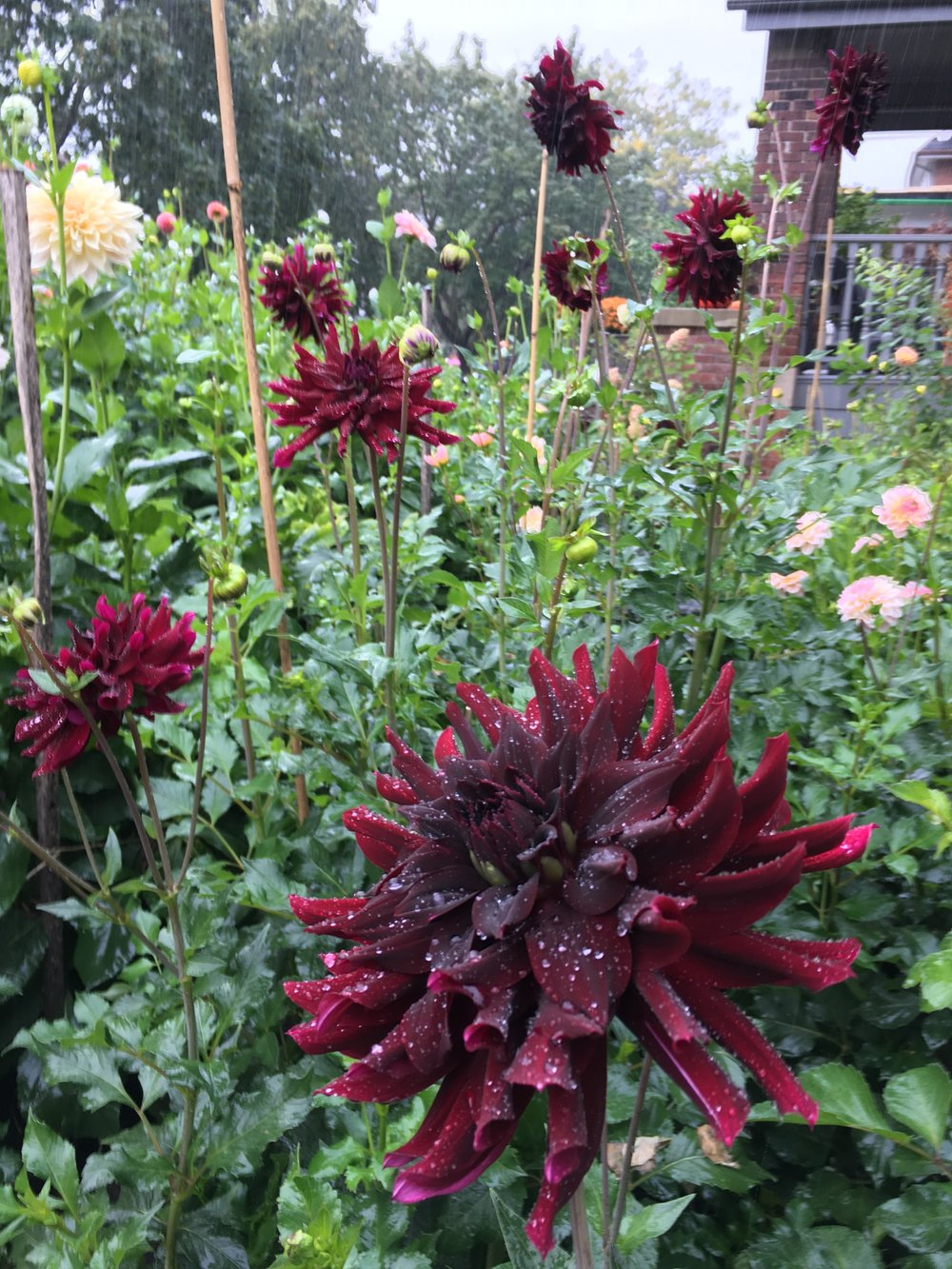 Rip city - One of my favorite burgundy flowers, both for gorgeous form and velvety colour.Height 5'+, blooms 5-6