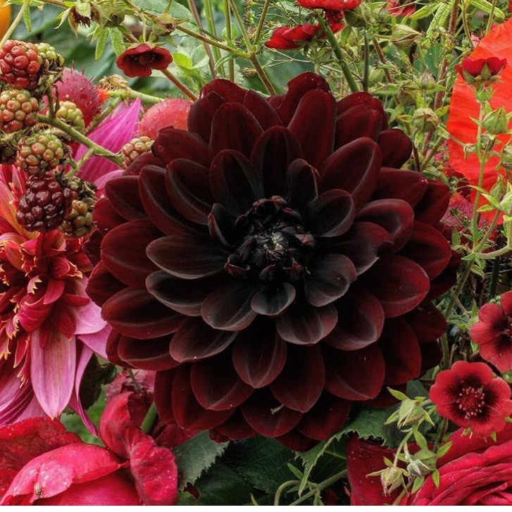 Karma Choc - Darkest Burgundy, almost black in the centre. Beautiful form, richness and stem length. Highly recommended. Blooms 4-5