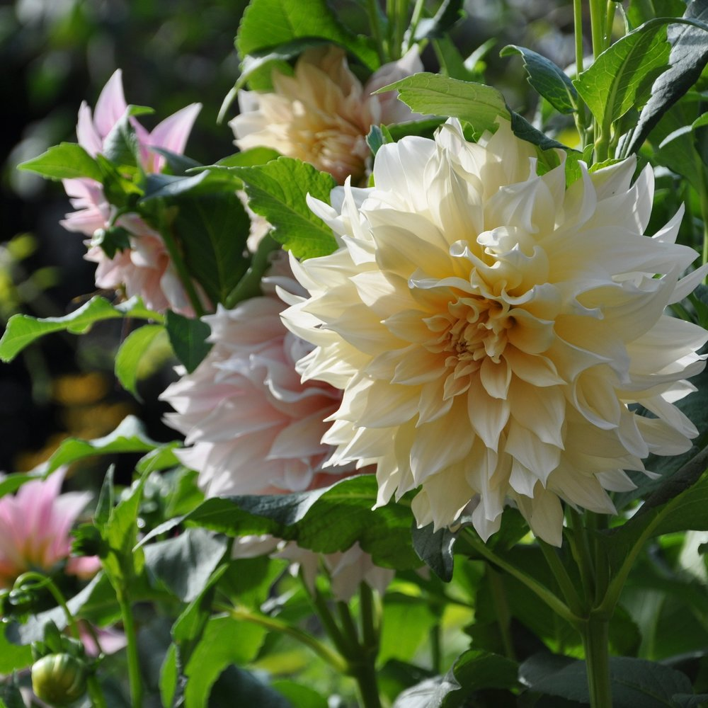 Café au Lait - Stunning cream and blush blooms, sometimes at the same time on the same plant. Flowers are 6-8