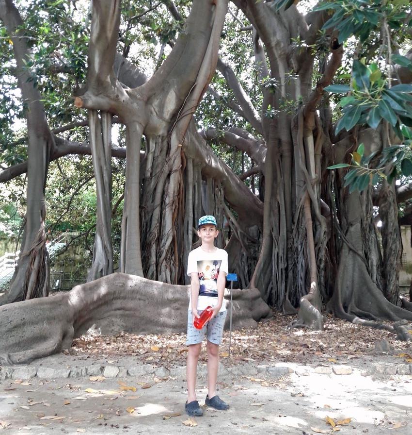 Alx Fig Tree.jpg