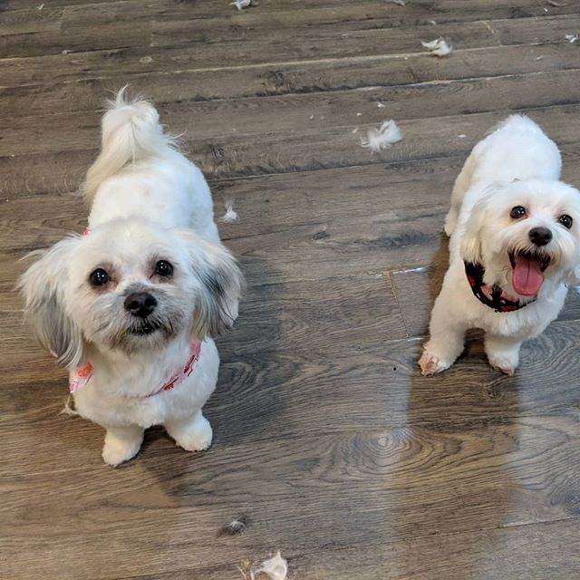 Love these girls beautiful faces! #riponwi #grooming #beautifulgirls #bows #riponwi #marciespetsparipon #rescuedogsofinstagram #spaday