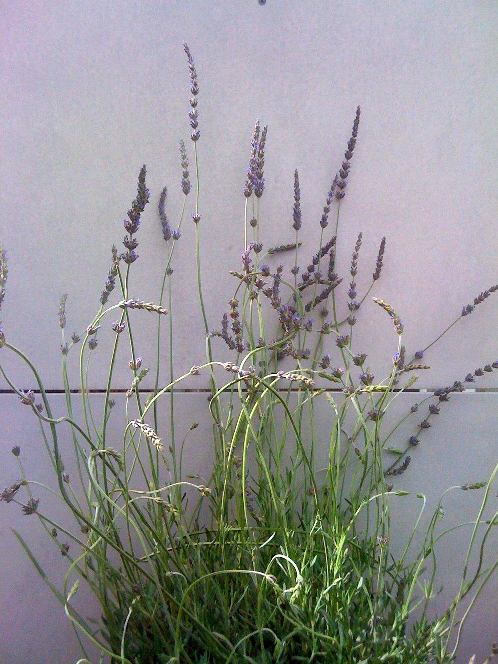 WEHO lavender.jpg