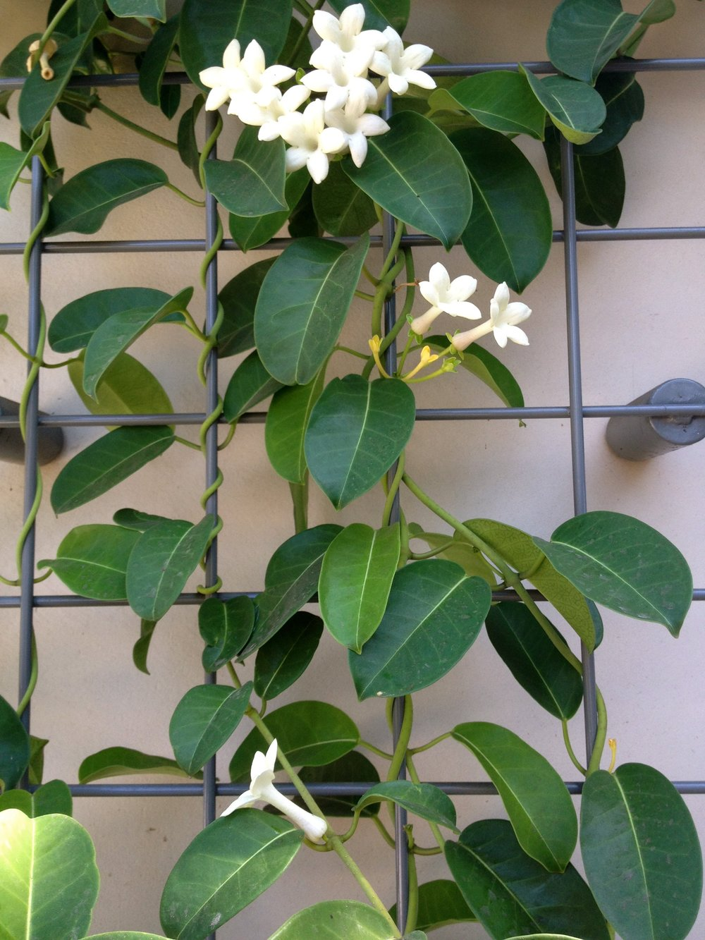 Madagascar Jasmine.jpg