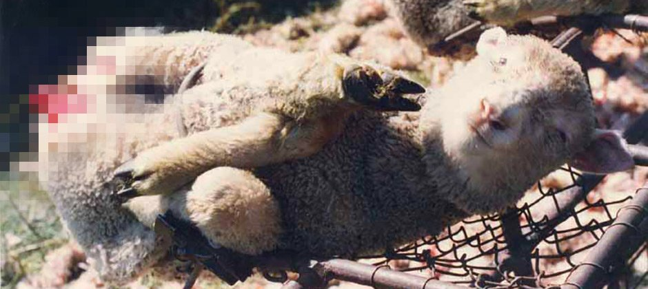 A Merino sheep with its skin torn of..