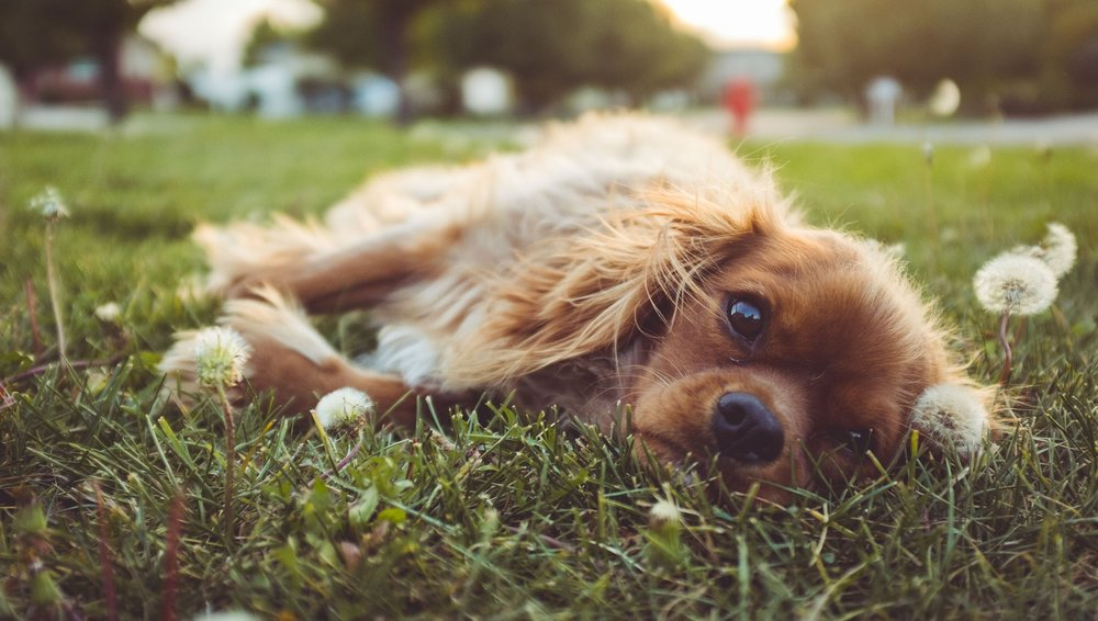 Tired_Dog.jpg