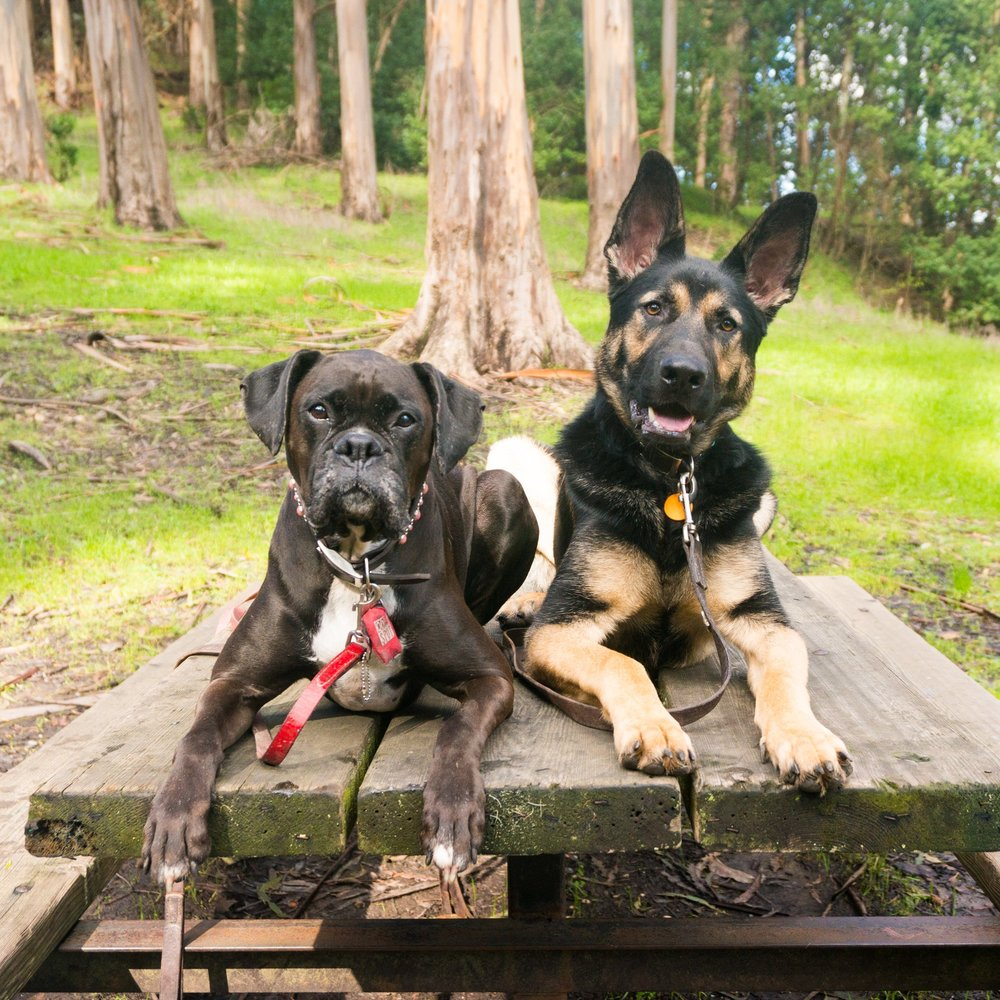 Behavior Consultations for aggressive boxer or aggressive german shepherd.