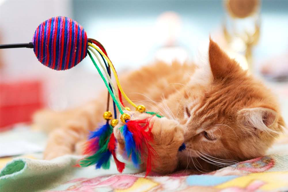 cat behavior and training- enrichment for kitten playing with cat wand toy