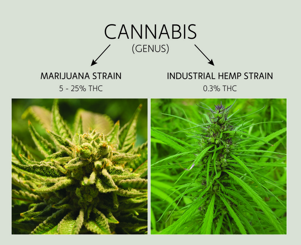 Hemp VS Marijuana. Comparing the differences on Hemp Gallery Australia.