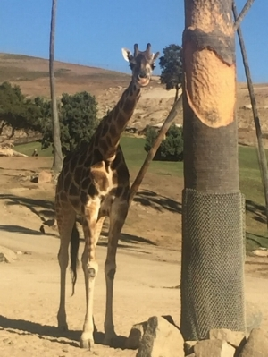 We got to get up close and personal with this beautiful giraffe at the San Diego Zoo!