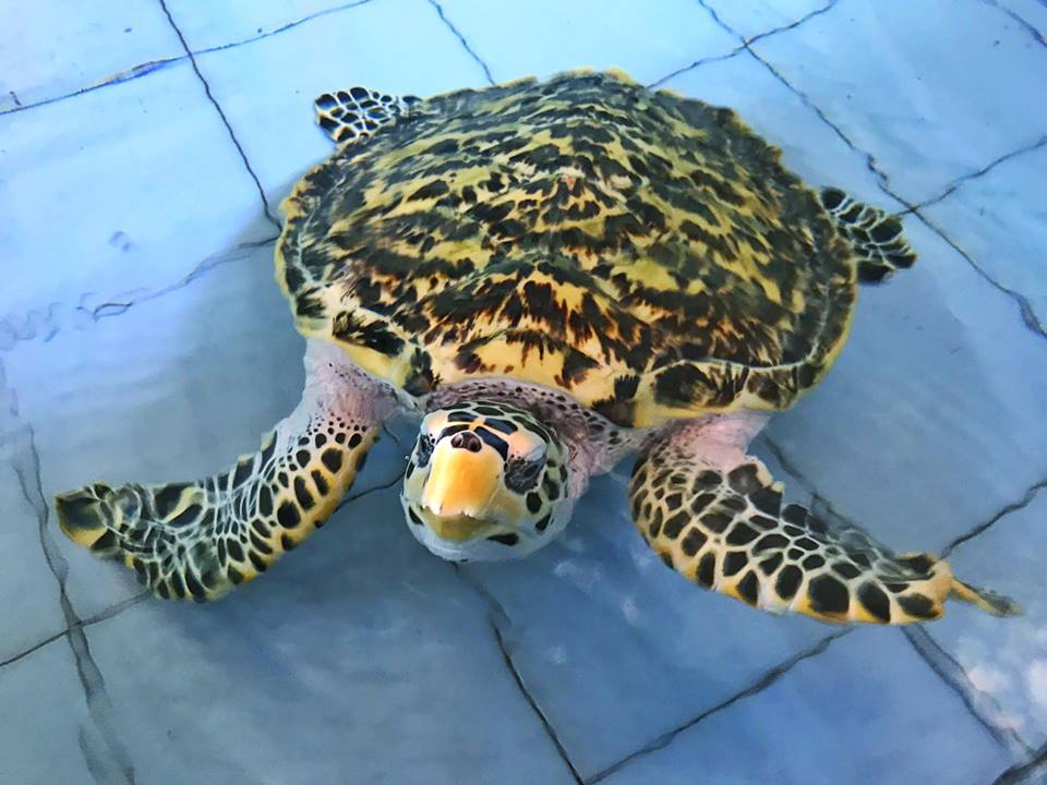 Rescued Sea Turtle