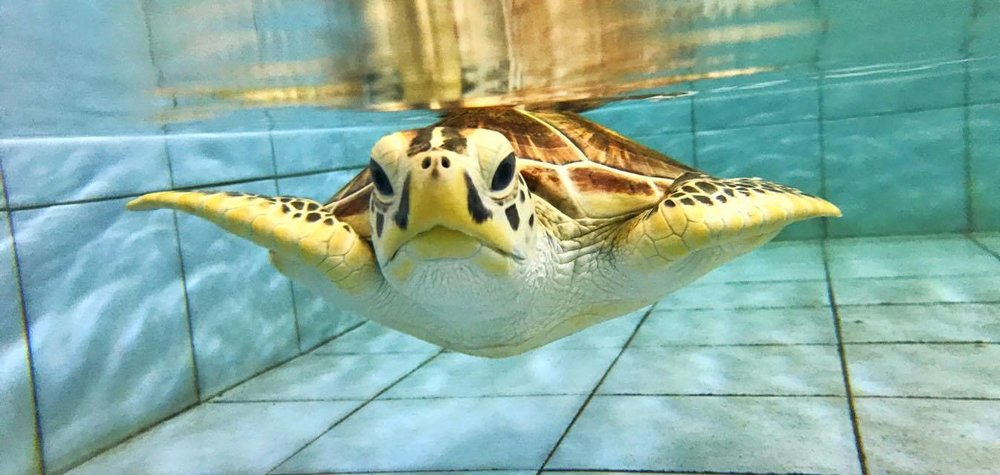 Another Rescued Sea Turtle