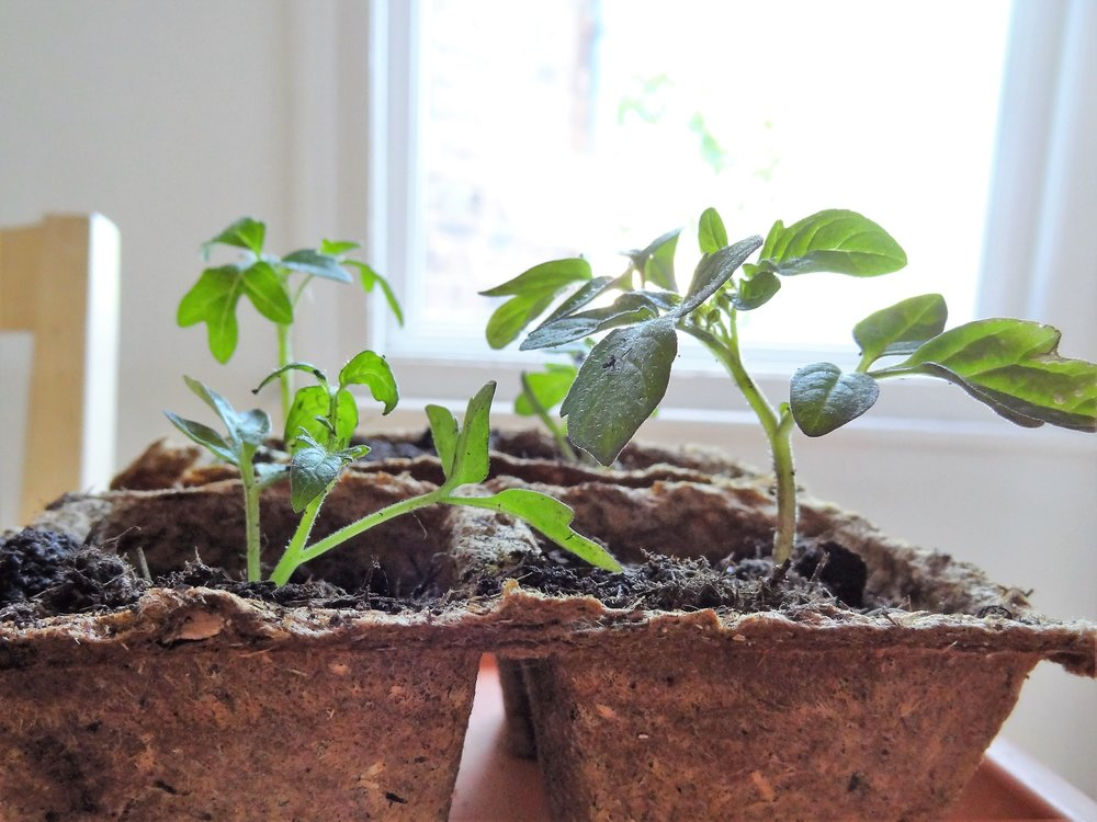 My cherry tomato plants growing in biodegradable pots
