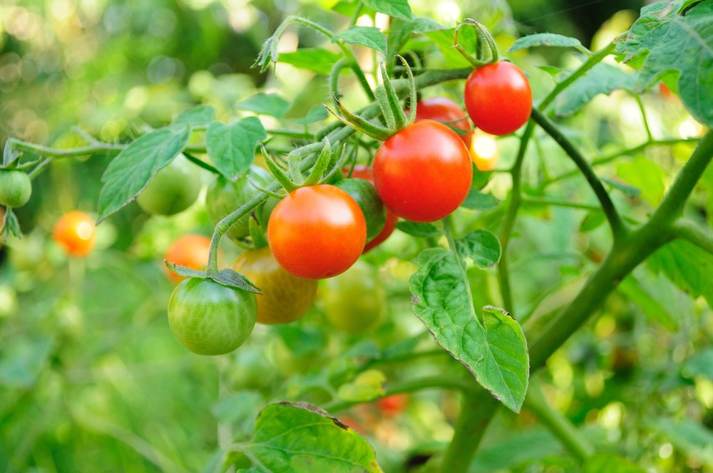growing cherry tomatoes with kids