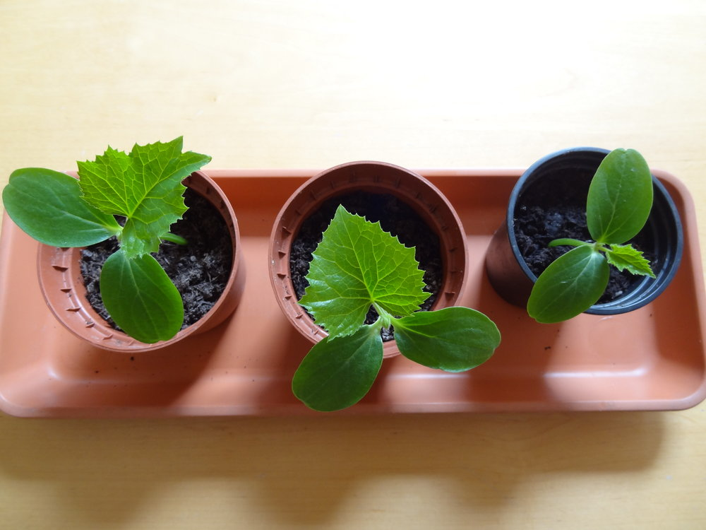 growing cucumbers with kids