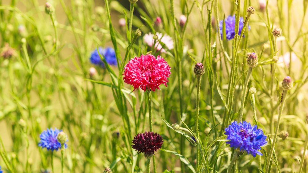 Growing cornflowers with kids